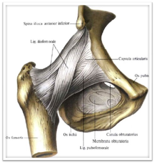 Связки тазобедренного сустава