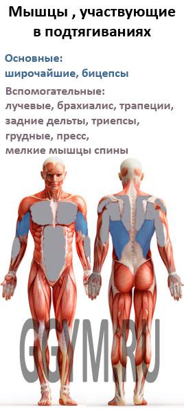 Мышцы, участвующие в подтягиваниях на турнике