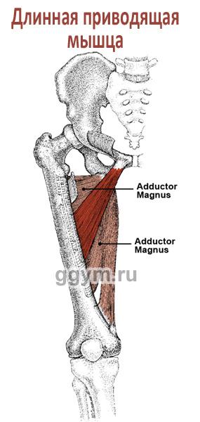 Длинная приводящая мышца бедра