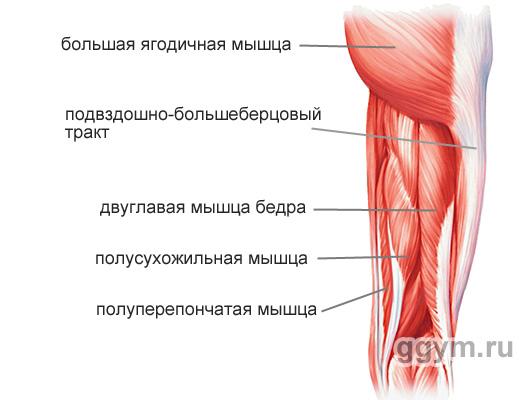 Мышцы задней части бедра