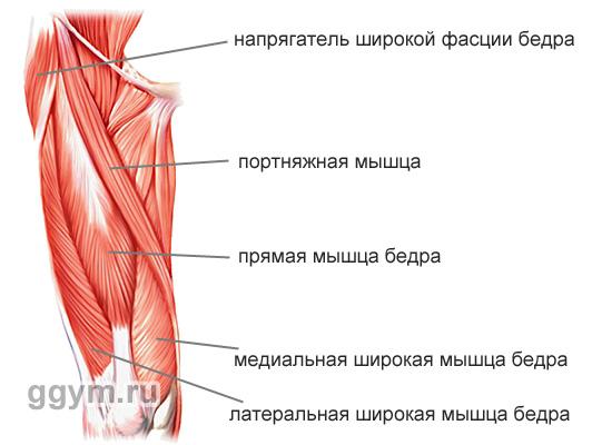 Мышцы передней части бедра