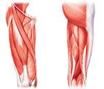 Мышцы бёдер. Строение и функции.