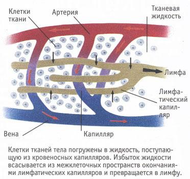 Лимфатические и кровеносные капилляры