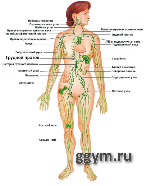 Лимфатическая система и целлюлит