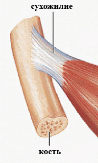 Сухожилие мышцы