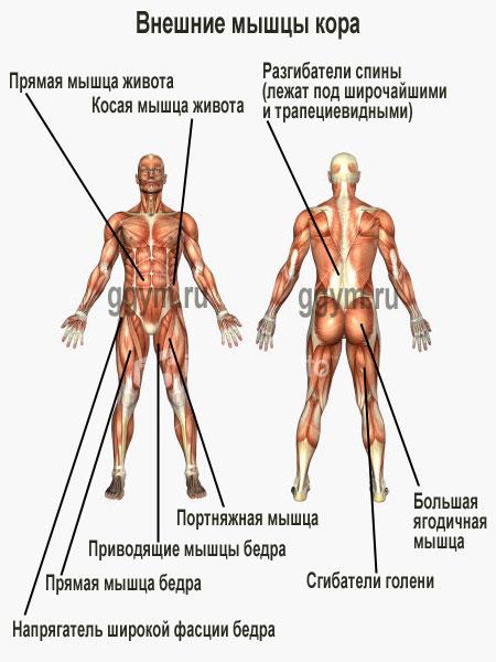 Мышцы кора. Анатомическая схема.