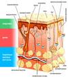 Строение кожи и целлюлит