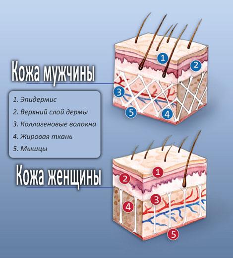 Волокна в коже мужчин и женщин отличаются по расположению