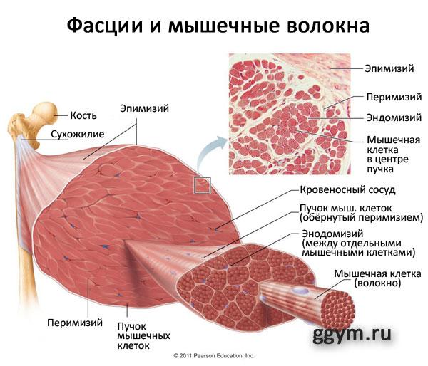 Фасции и сила мышц