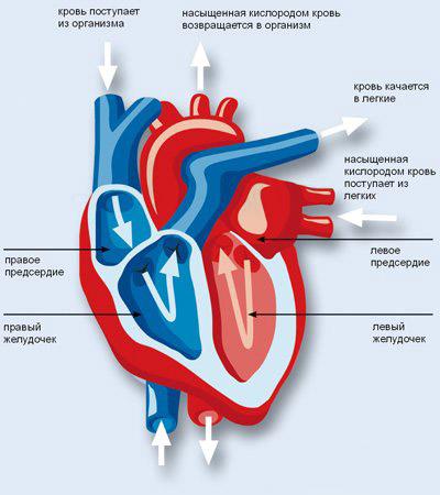 Строение сердца и его ударный объём
