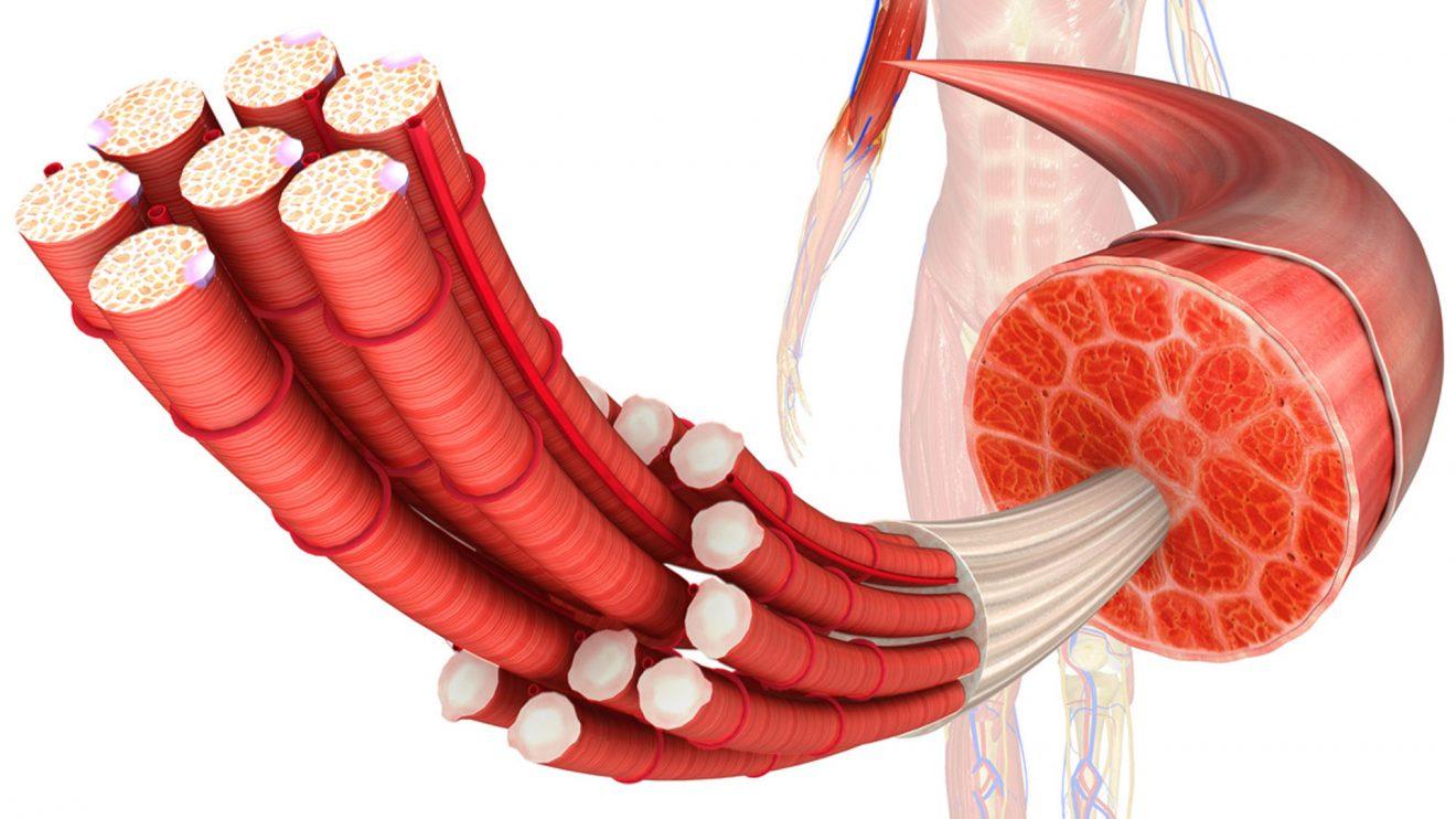 Как устроены мышцы