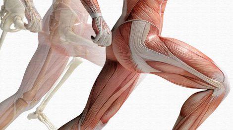 Мышцы бедер. Строение и функции.