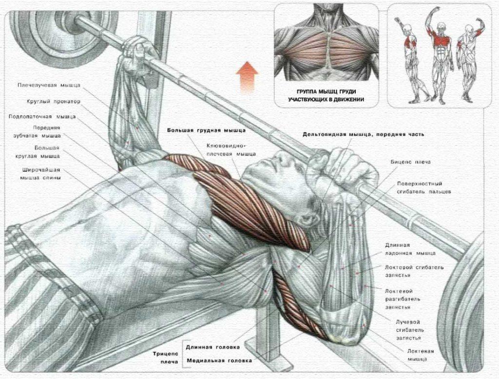 Жим лежа, какие мышцы работают в упражнении