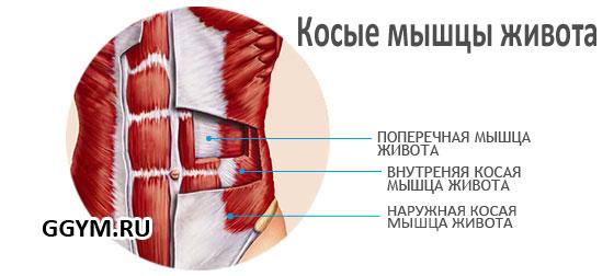 Косые мышцы живота. Анатомия.