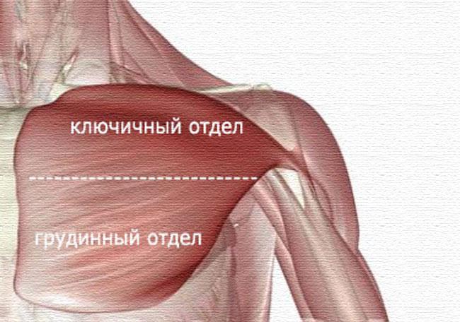 Как накачать грудные мышцы. Упражнения для мышц груди.