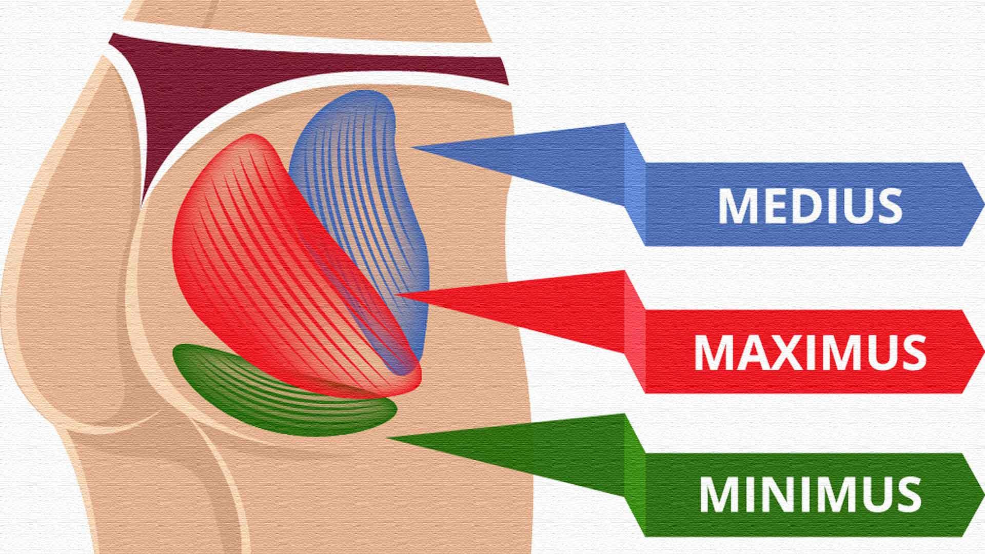 Строение и функции мышц ягодиц