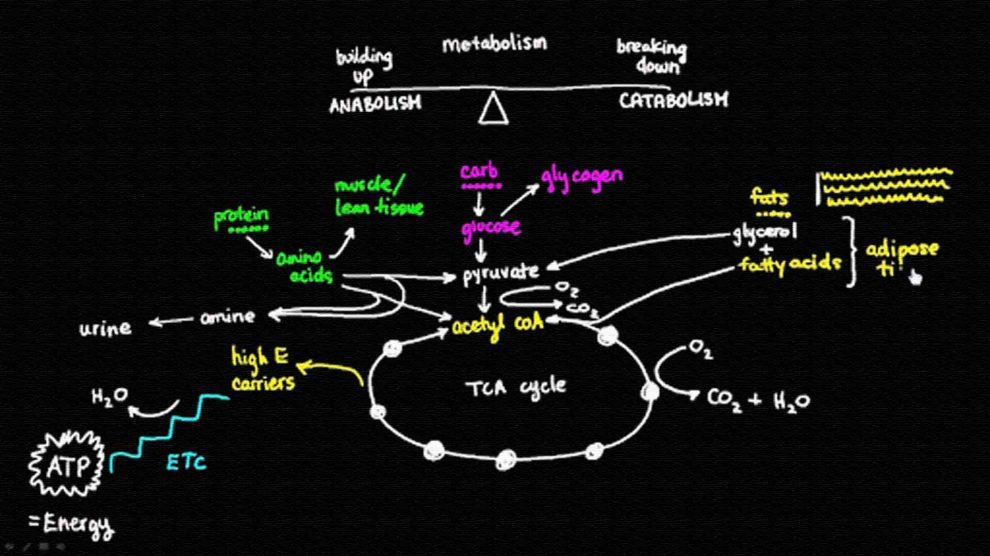 Обмен веществ, метаболизм