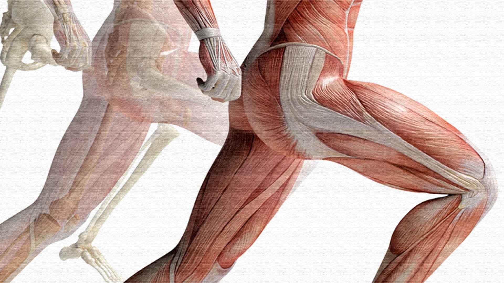 Четырехглавая мышца бедра начало и прикрепление
