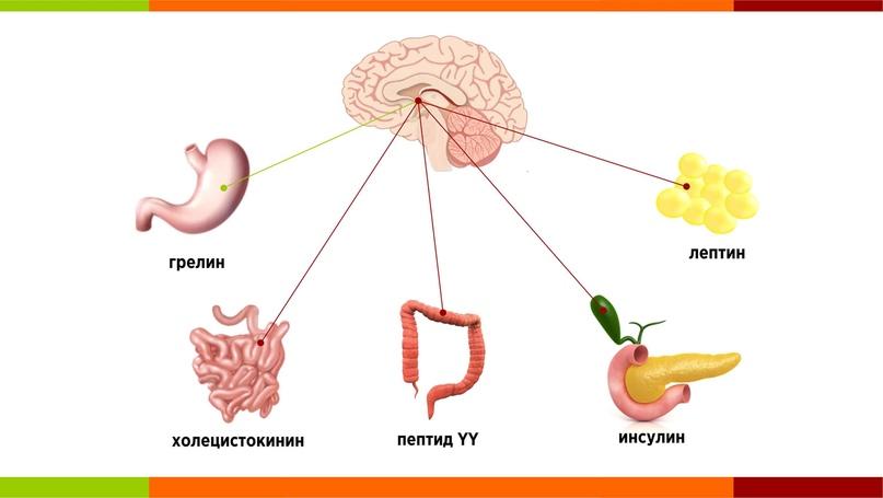 Гормоны и пищеварение