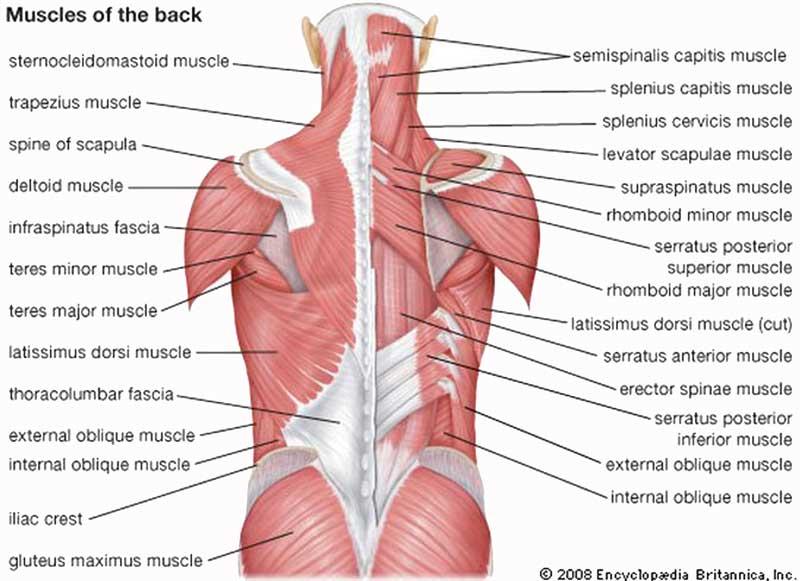 Мышцы спины, схема